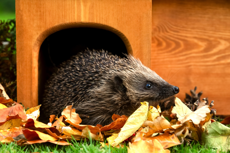 Wild hedgehog, (Scientific name: Erinaceus europaeus) Native, wild European hedgehog in Autumn, leaving hedgehog house. Facing right. Head raised. Close up.  Horizontal, landscape.  Space for copy.