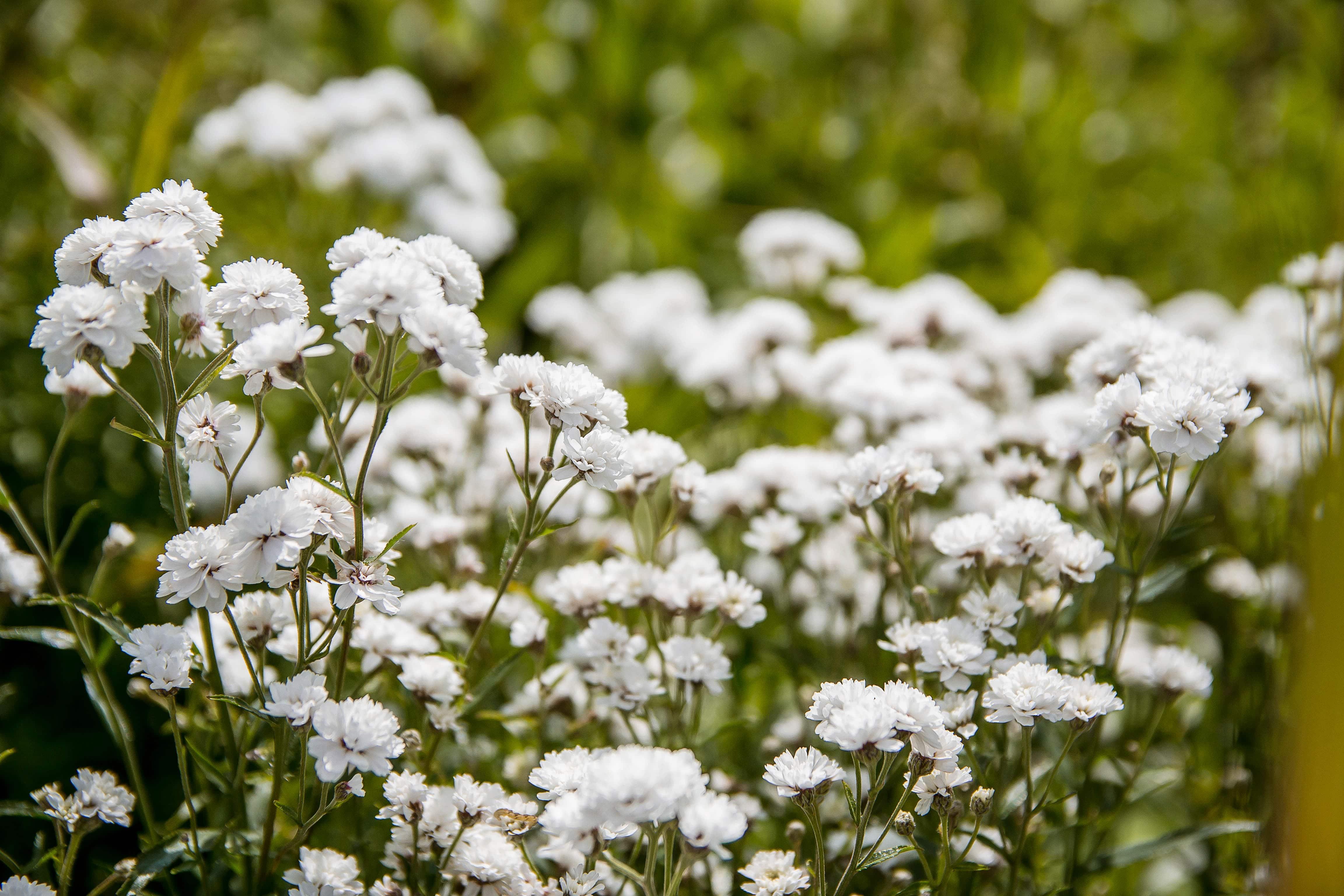 White flowers baby's breath Bush