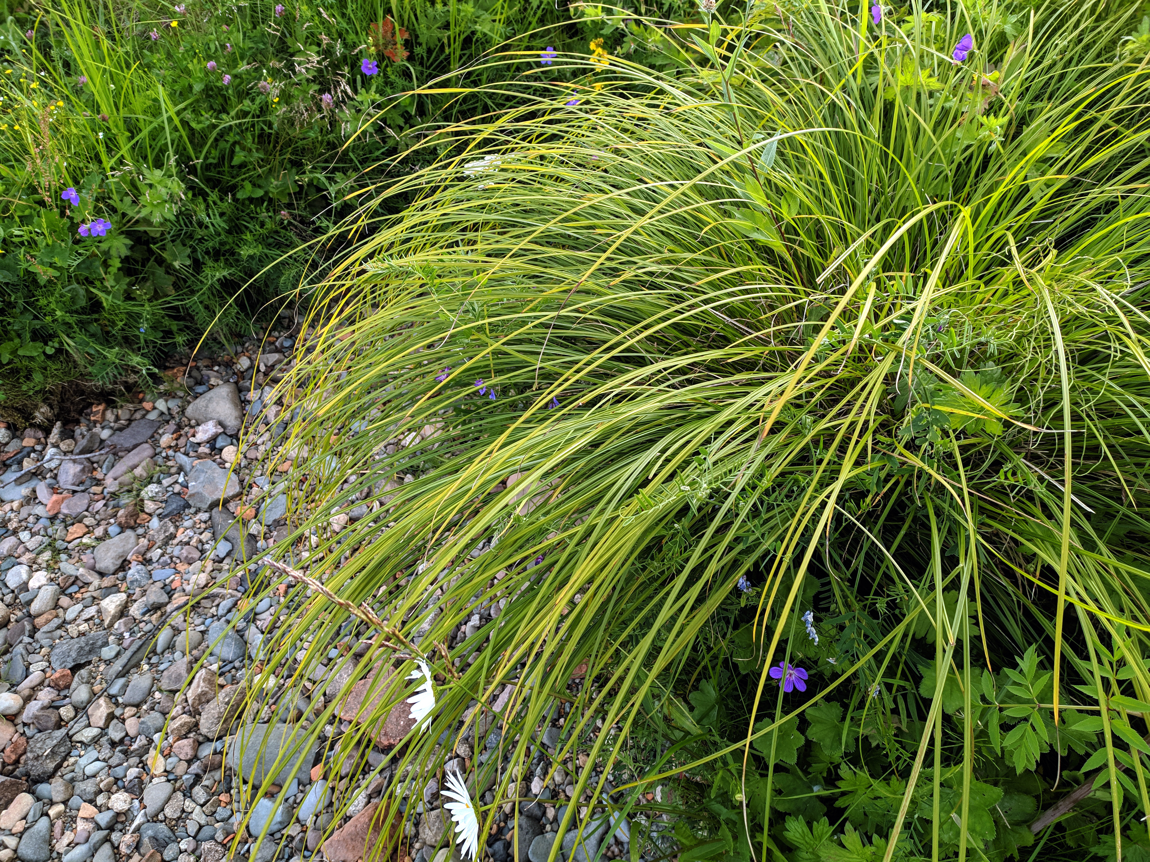 Thickets of river grass. sedge, grass by the river. Manifold of herbs and flowers near spring water among stones.
