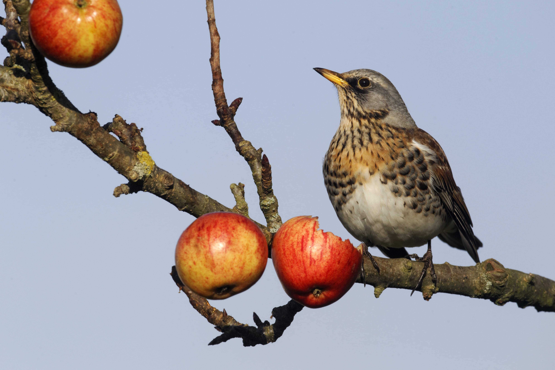 Fieldfare, Turdus pilaris, single bird on apples in tree, Warwickshire, December 2012