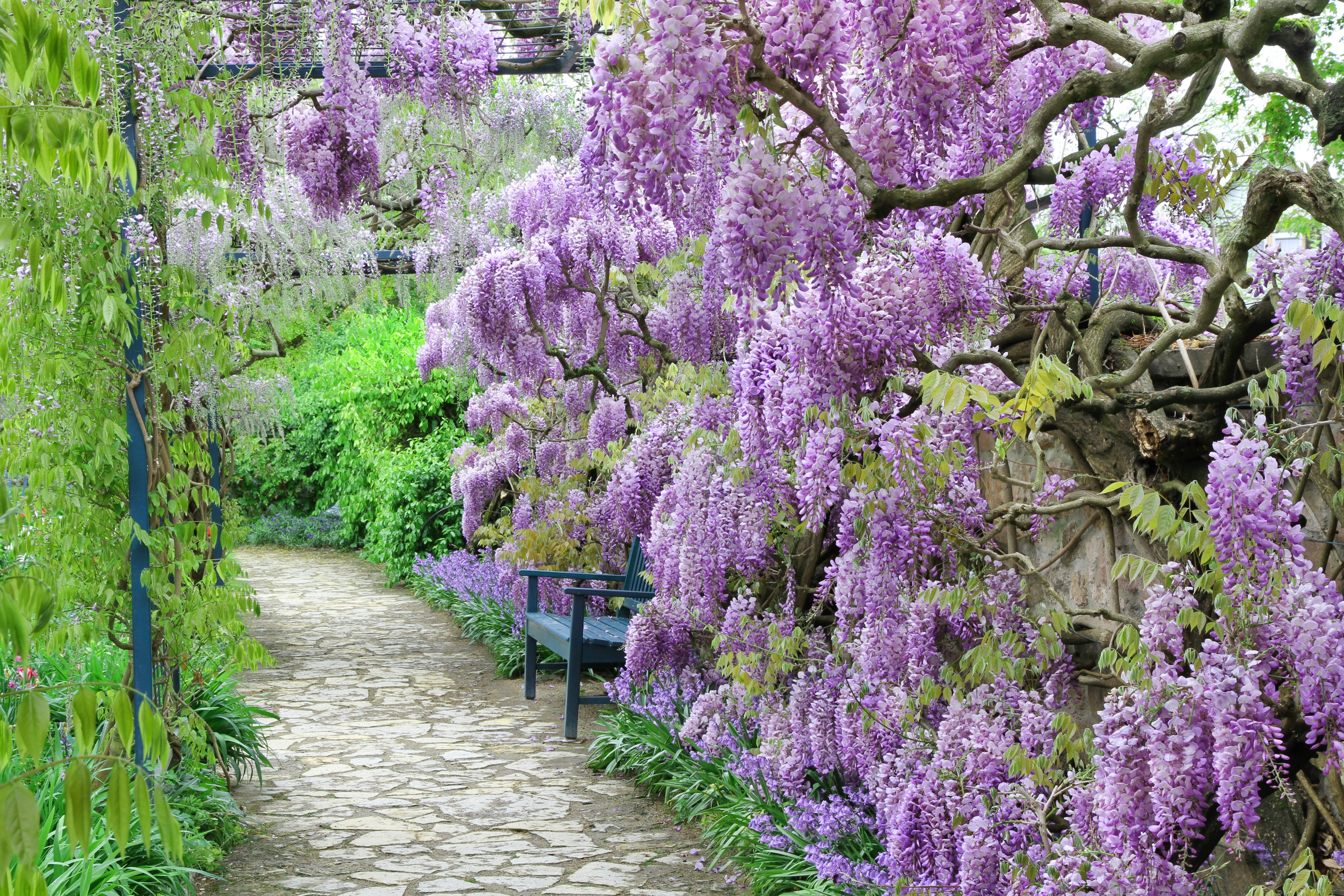 The great garden blooming wisteria blossoms in Spring